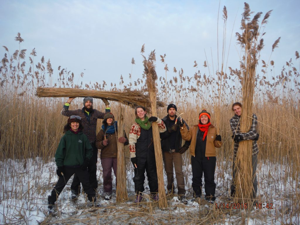 Reed Collecting for Thatching